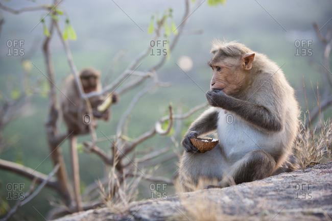 Macaque monkey eating a coconut at sunset in Hampi, ancient capital of Vijayanagara Kingdom, Karnataka, India