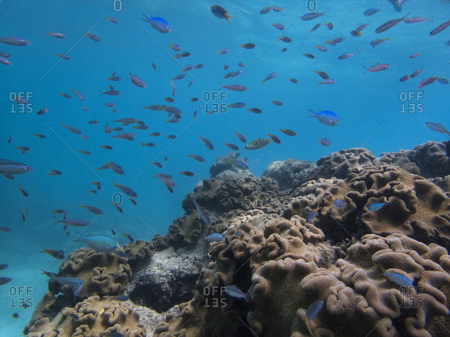 Mushroom corals surrounded by  Yellow-tailed Fusiliersand Blue-Green Chromis, Great Barrier Reef, UNESCO World Heritage Site, Queensland, Upolu Reef, Australia