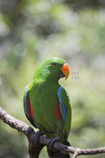 Eclectus Parrot (Eclectus roratus) male, Queensland, Australia