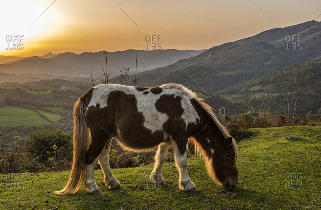 Spain, Basque Country, Baztan valley, free Pottok pony on the road of the col d'Ispeguy (mountain pass)