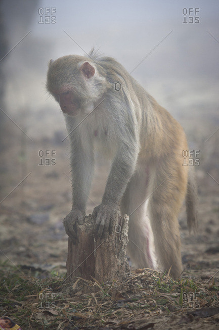 Monkey macaque standing and arched in the mist on the site of Lumbini, Nepal
