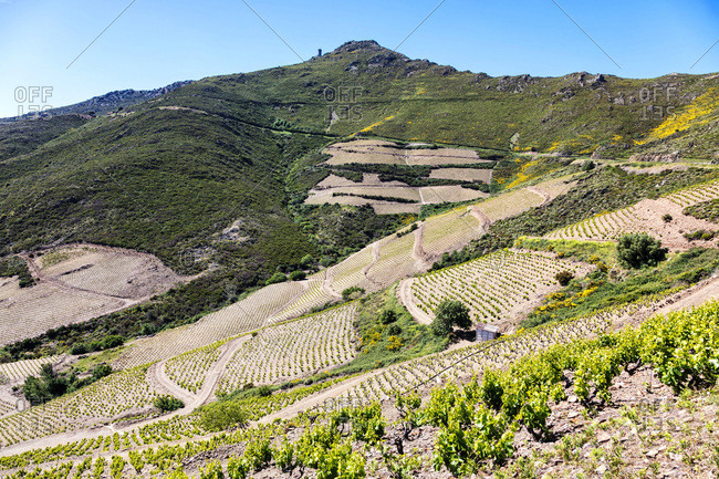 Vineyard of Collioure-Banyuls, seen from the coast of Vermeille, Pyrenees-Orientales, Catalonia, Languedoc-Roussillon, France