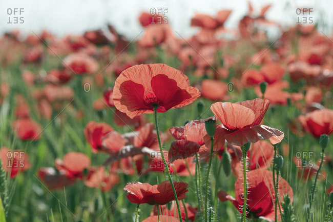 France, Chaumes-en-Retz, department 44, field of poppies, spring.