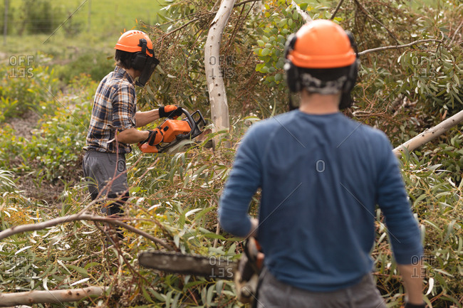 Two lumberjacks with chainsaw cutting fallen tree in forest