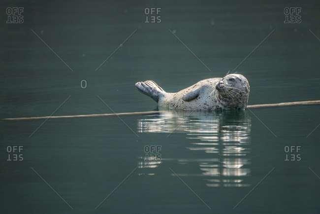 A wild harbor seal on a floating log in the Desolation Sound area of southern coastal British Columbia, Canada