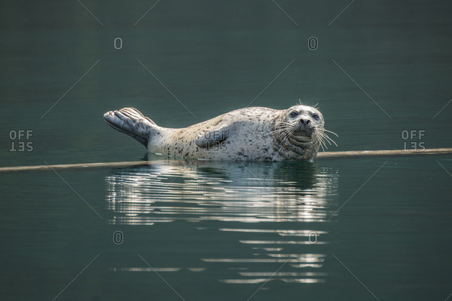 A wild harbor seal lounging on a floating log in the Desolation Sound area of southern coastal British Columbia, Canada