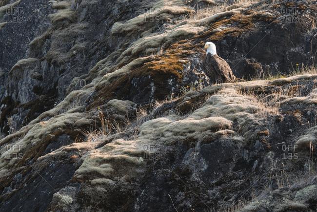 Bald eagle in southern coastal British Columbia, Canada