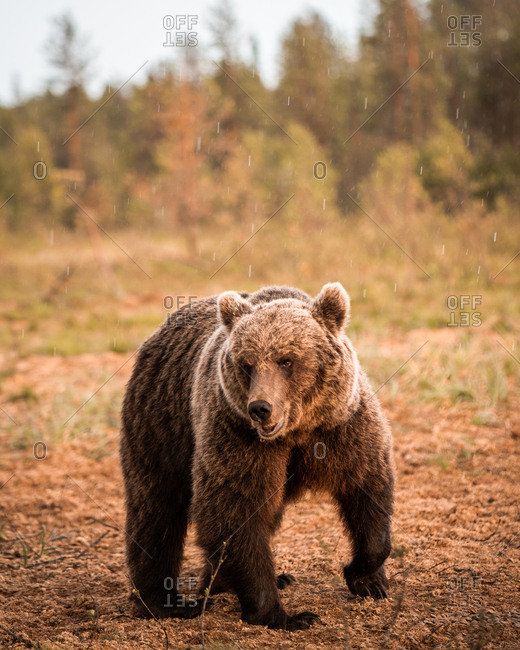 Wild brown bear walking in the rain in rural Finland