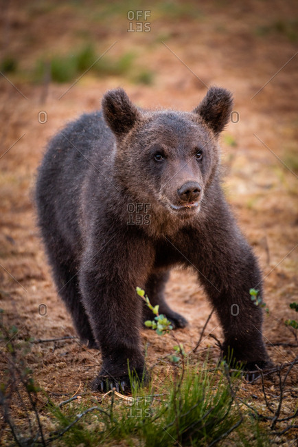 Wild brown bear cub walking in the rain in rural Finland
