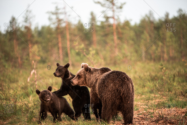 Mother and cubs wild brown bears walking together in rural Finland