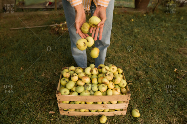 Woman dropping apples into a wooden crate