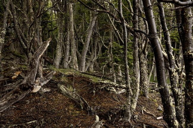 Tree trunks in the dense forest on Isla Navarino