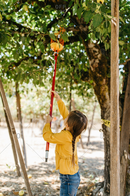 Girl using fruit picker tool to harvest apples from tree