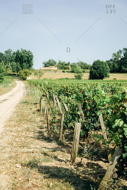 Vines at Saint-emilion wineyard near Bordeaux, France