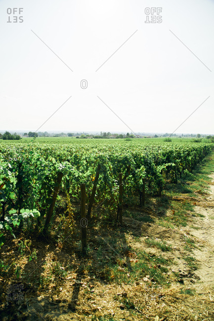 Vines at Saint-emilion wineyard near Bordeaux, France