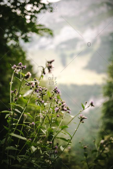 Wildflowers in rural Switzerland