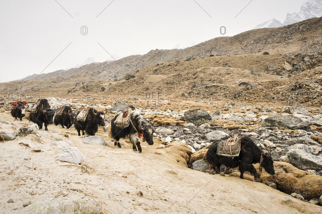 Herd of Yaks in the Himalayas