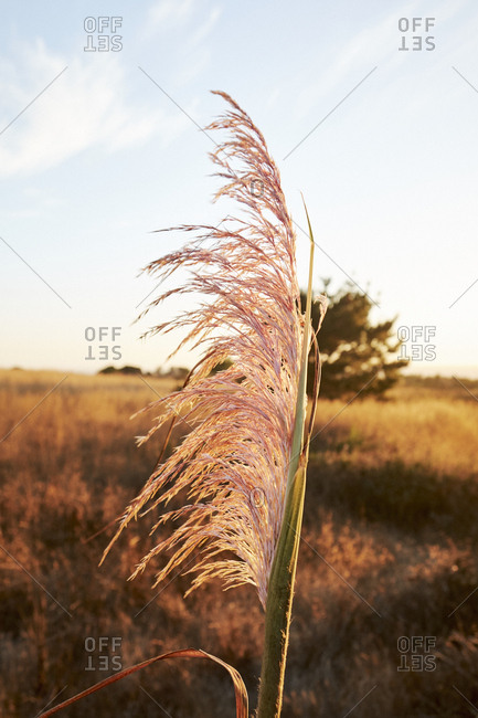 Dried weeds in a field at sunset