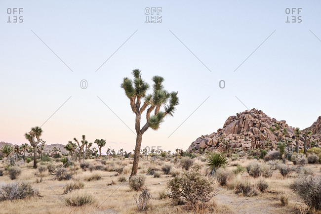 Joshua trees at Joshua Tree National Park, California
