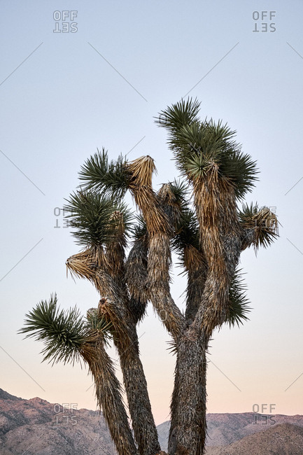 Close up of Joshua trees at Joshua Tree National Park, California