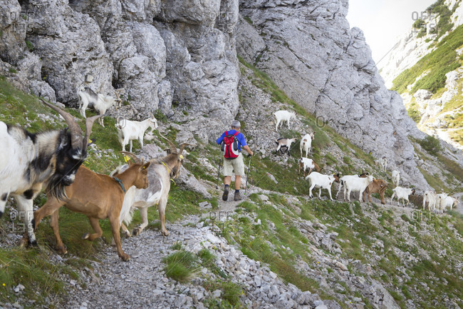 September 14, 2016: Hikers and goats at Vratca pass near Mount Vogel, a spectacular hiking peak on a ridge above Bohinj lake in Triglav National Park, Slovenia