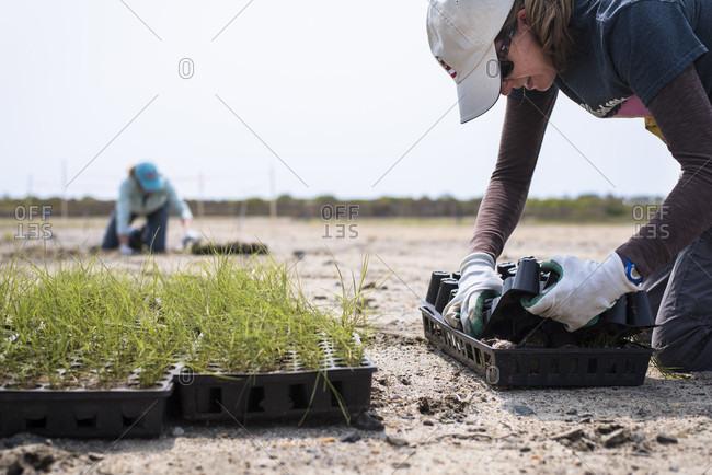 May 20, 2016: Female volunteer with seedlings during salt marsh restoration program as part of Save the Bay, Middletown, Rhode Island, USA