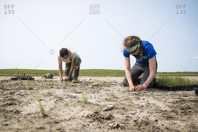 May 20, 2016: Volunteers planting plants during salt marsh restoration program as part of Save the Bay, Middletown, Rhode Island, USA
