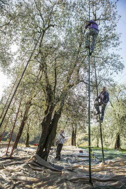 November 18, 2015: Group of three men harvesting olives, Arco, Trentino, Italy