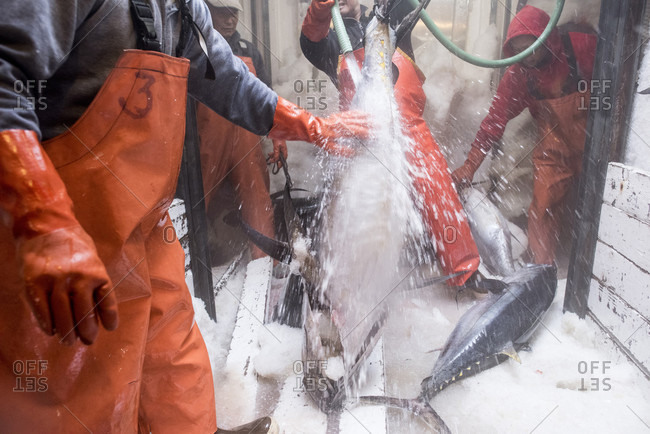 April 24, 2018: Large yellowtail are cleaned below deck of a commercial fishing boat in San Diego, California, USA