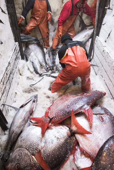 April 24, 2018: Deckhands moving large fish around an ice filled freezer on a commercial fishing boat in San Diego, California, USA