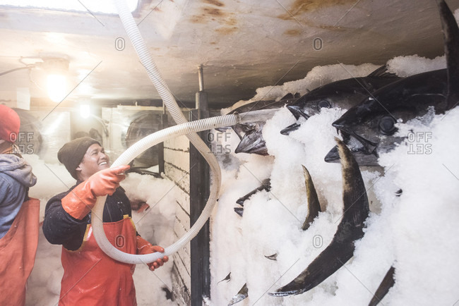 April 24, 2018: A deckhand spraying water on a tune packed in ice on a commercial fishing boat in San Diego, California, USA
