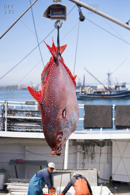 April 24, 2018: An opah hangs on a scale above a commercial fishing boat in San Diego, California, USA