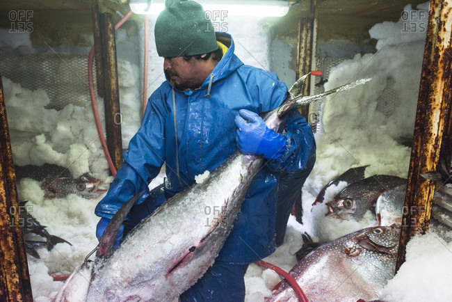 May 2, 2018: A deckhand moves large fish around the ice filled freezer of a commercial fishing boat, San Diego, California, USA