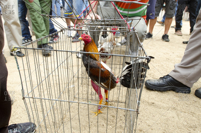 May 16, 2015: Rooster in cage before cock fight, Vinales, Pinar del Rio Province, Cuba