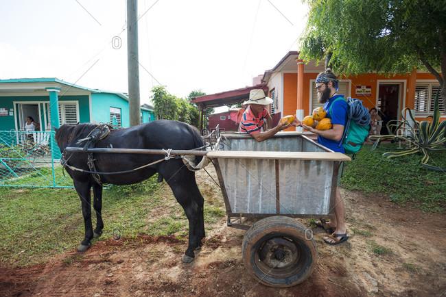 May 14, 2015: Two men loading fresh papayas on horse cart, Vinales, Pinar del Rio Province, Cuba