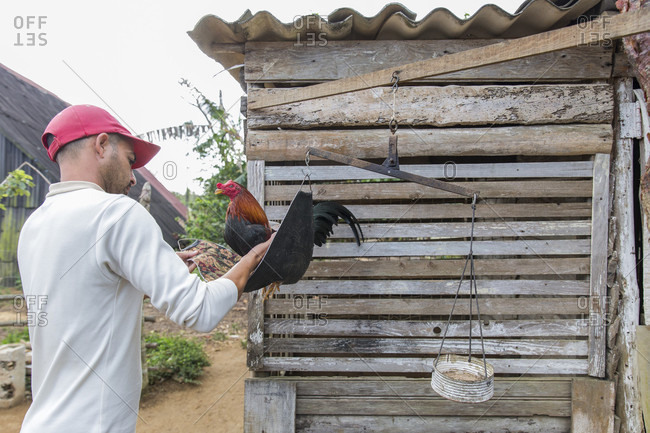 March 5, 2017: Man weighing cock before cock fight training, Vinales, Pinar del Rio Province, Cuba