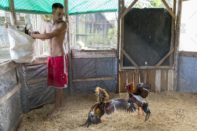 March 5, 2017: Two cocks fighting while getting trained for cock fight, Vinales, Pinar del Rio Province, Cuba