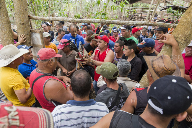 March 11, 2017: Crowd of people gathered around cock that gets weighted before cockfight, Vinales, Pinar del Rio Province, Cuba