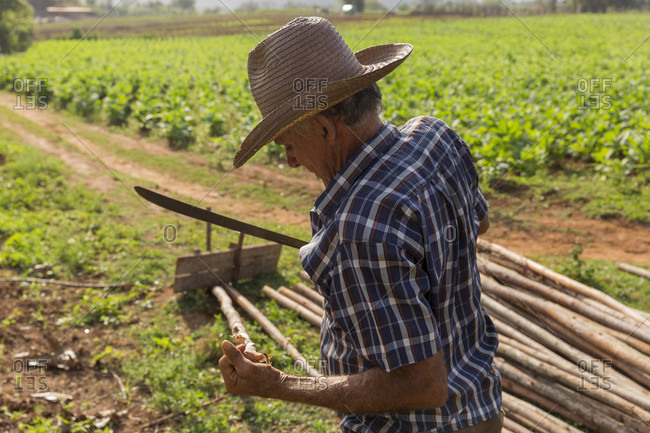 March 4, 2017: Side view waist up shot of farmer working at farm, Vinales, Pinar del Rio Province, Cuba