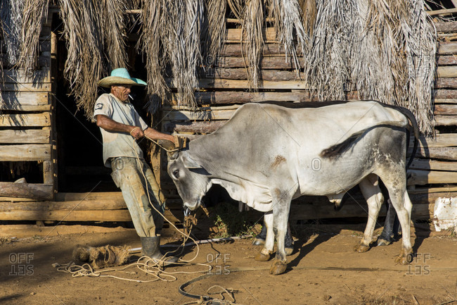 March 10, 2017: Side view of farmer preparing oxen for fieldwork, Vinales, Pinar del Rio Province, Cuba
