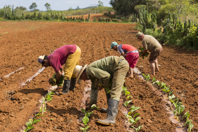 March 8, 2017: Side view of small group of busy tobacco farmers planting tobacco in field, Vinales, Pinar del Rio Province, Cuba