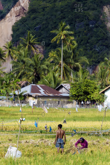 January 30, 2018: People working in rice field with palm trees in background, Banda Aceh, Sumatra, Indonesia