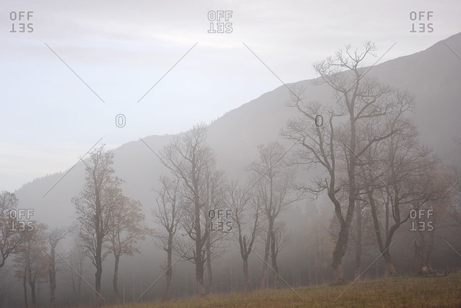 Fog in the mountains with single maple trees.