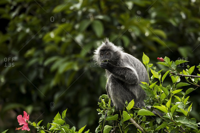 Langur sits on a hibiscus tree in the jungle and eats the blossoms.