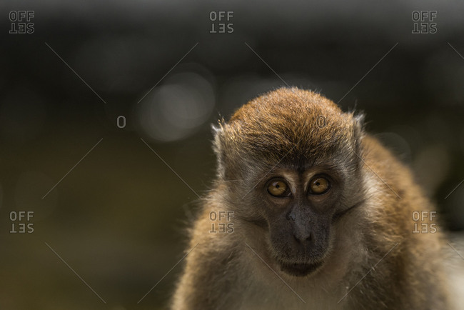 Young Javanese's monkey (Macaca fascicularis) looks anxiously in the camera.