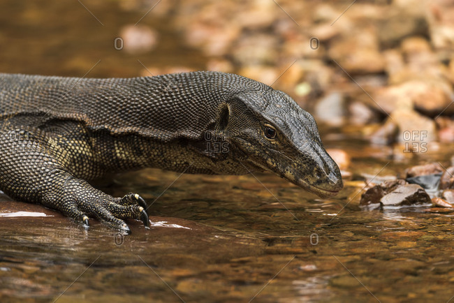 A Waran in the Gunung Leuser national park on Sumatra / Indonesia on the shore of a small stream course.