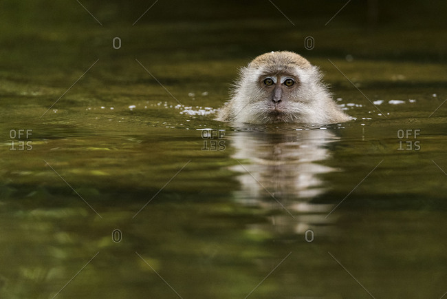 A swimming Makak or Javanese's monkey heads for the camera and looks at the viewer.