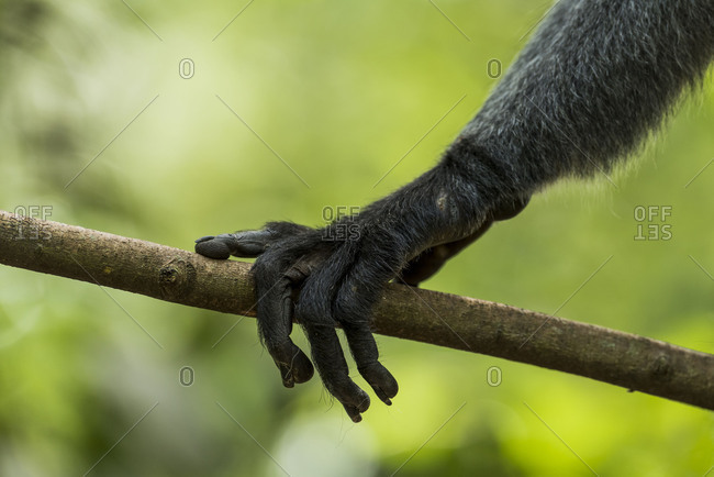 Hand of a Thomas-Langur (Presbytis thomasi) in a branch in the Gunung Leuser national park on Sumatra, Indonesia.