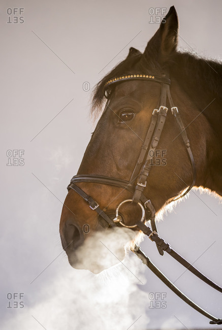 Dragon\'s horse. A horse in the halter blows out his foggy respiration.