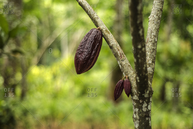 Cocoa fruit in the tree.